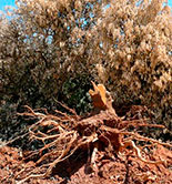 Asaja-Jaén celebra una nueva jornada sobre Xylella fastidiosa y Verticillium dahliae el 9 de junio