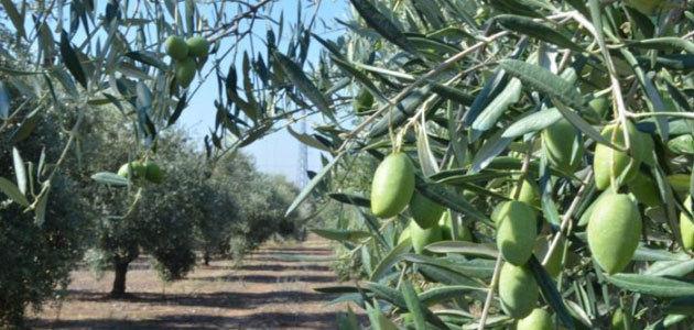 Nuevo convenio con Islas Baleares para la lucha contra la Xylella fastidiosa