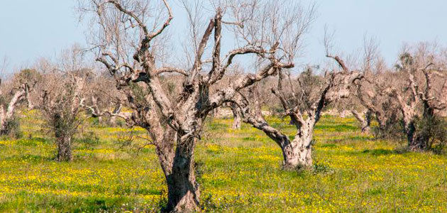 La EFSA afirma que la Xylella fastidiosa todavía no tiene cura y las medidas de control son cruciales