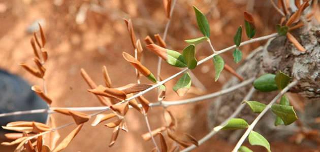 La FAO presenta medidas preventivas contra la Xylella fastidiosa en Egipto