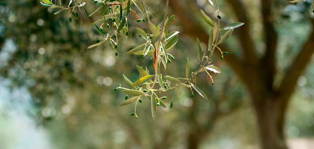 La EFSA explicará en un webinario su base de datos de plantas huéspedes de la Xylella