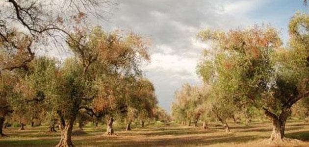 Cosecha récord y fortaleza de precios para el aceite de oliva australiano