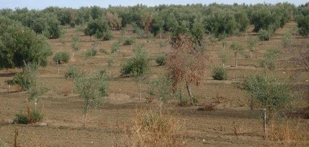 Evaluación de resistencia a la Xylella fastidiosa en olivo
