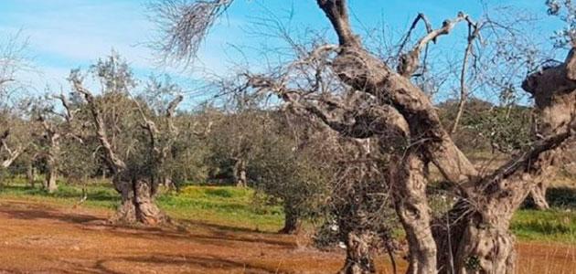Italia inicia el plan para la regeneración del olivar de Puglia
