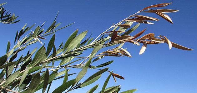 Bélgica confirma su primer caso de Xylella fastidiosa en olivos procedentes de España