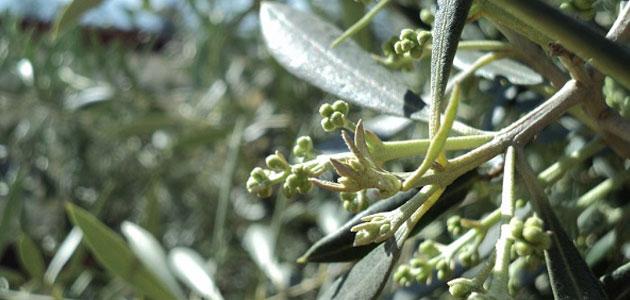 Restos digestivos delatan potenciales depredadores del vector de la Xylella fastidiosa en el olivar