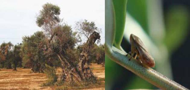 Una nueva publicación del Ciheam recoge los últimos trabajos científicos sobre la Xylella fastidiosa