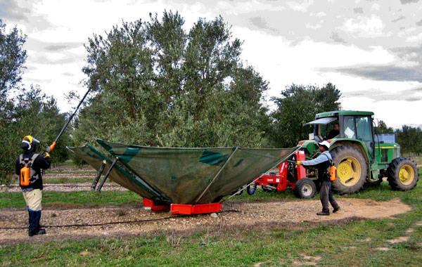 Recoleccion de aceitunas verdes